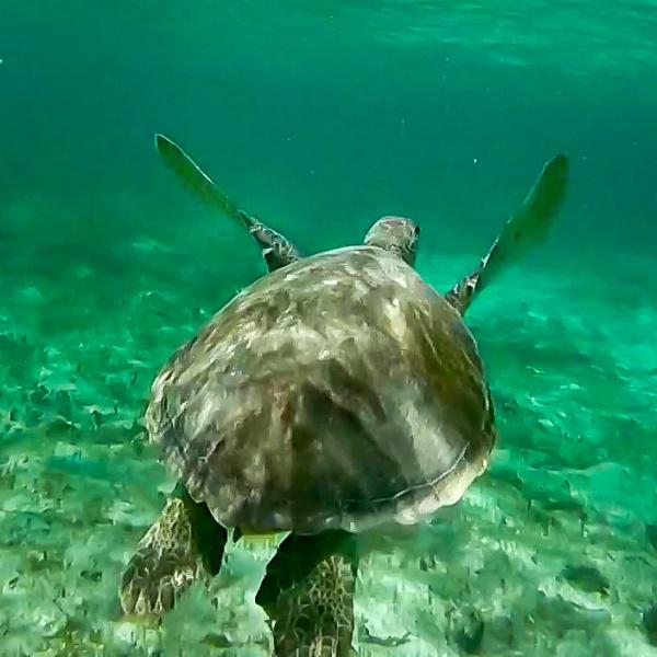 Tortue marine dans la réserve naturelle de Petite-Terre en Guadeloupe
